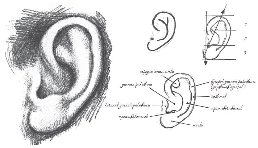 Прорисовка уха
